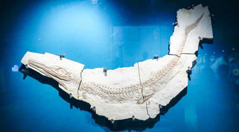Ein Urfisch im Museum Solnhofen