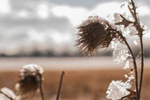 Distel mit Schneekappe