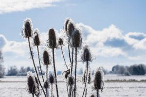 Kolben im Schnee