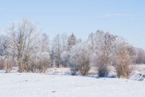 Weisse Bäume
