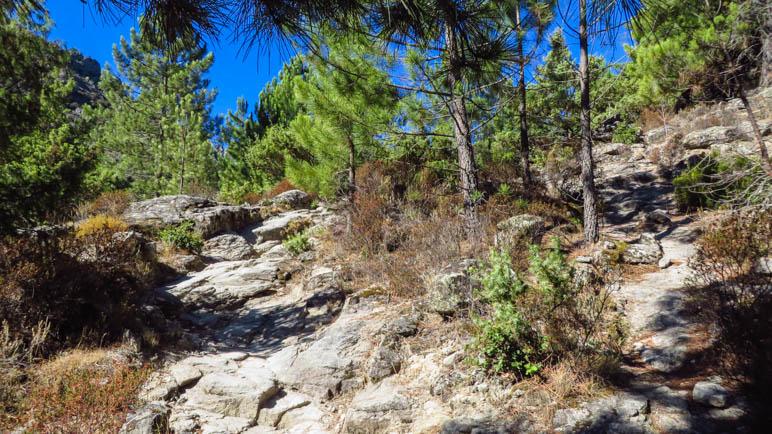 Durch den lichten KIefernwald