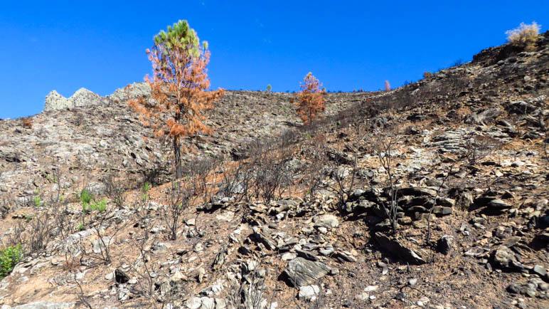 Der Wanderweg führt durch das Waldbrandgebiet
