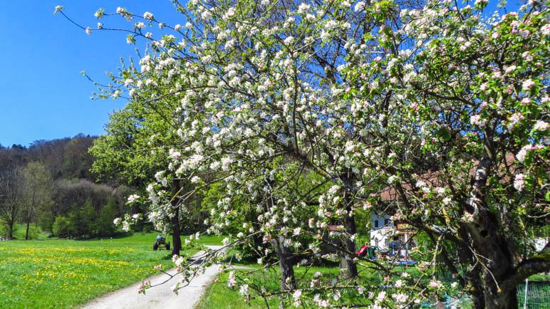 Obstblüte im Chiemgau