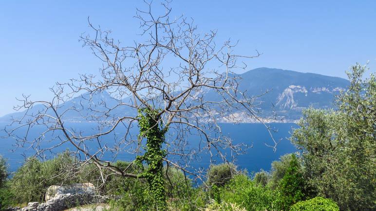 Ein auffälliger Baum auf dem Abstiegsweg von Campo