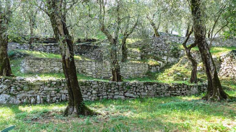 Die Olivenbaäume rund um Campo wachsen auf großen Terrassen