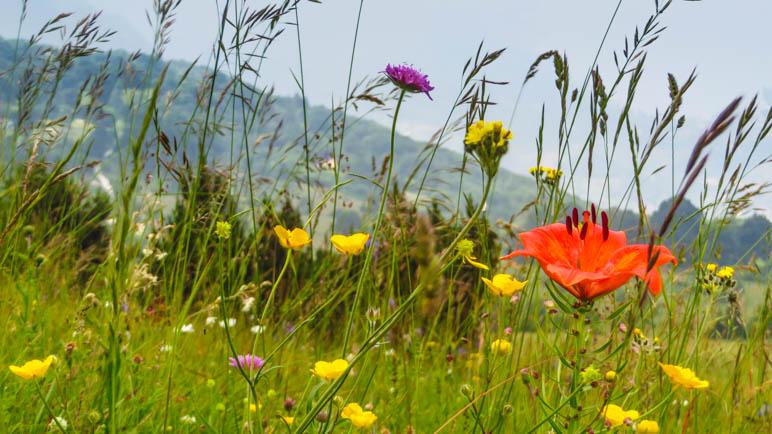 Auf den Blumenwiesen des Monte Baldo