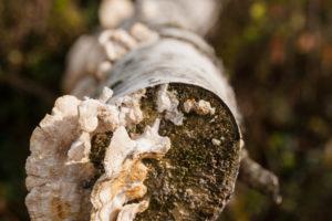 Pilze an einer toten Birke