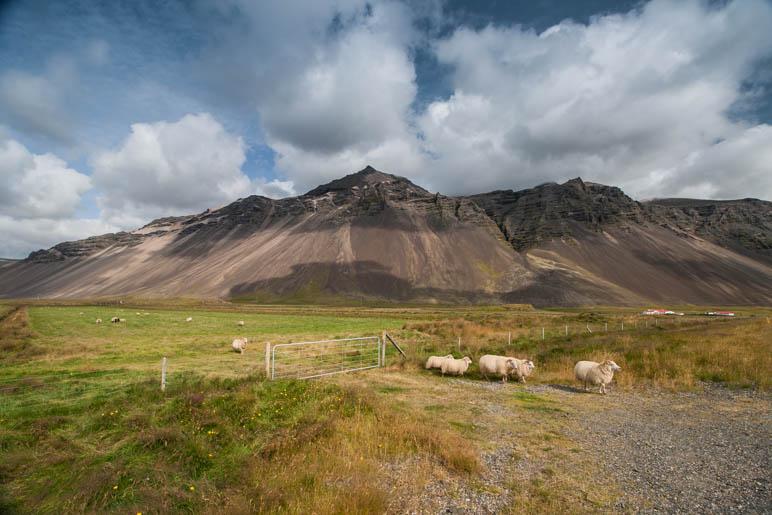 Schafe vor toller Bergkulisse bei Höfn