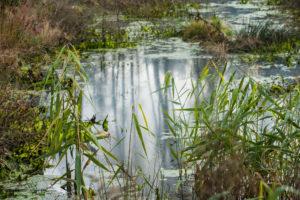 Spiegelung der Baumstämme in einem kleinen Moorsee