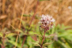 Strubbelblume