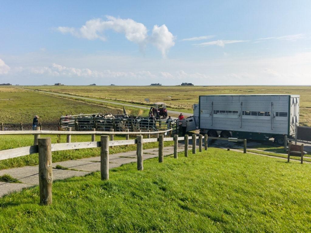 Der Viehtransporter für den Fährtransport