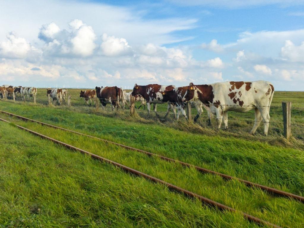 Die Kuhherde ist bereit für den Almabtrieb