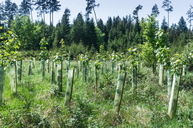 Jungwald-Pflanzungen im Parsdorfer Hart