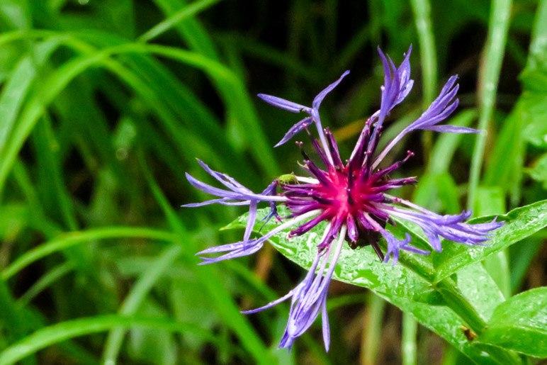Eine Bergflockenblume