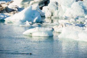 Eine Robbe vor den Eisbergen