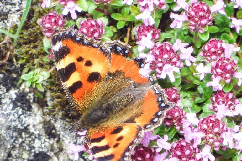 Schmetterling Kleiner Fuchs auf einer Blumenwiesen am Breitenstein