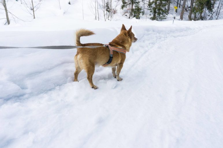 Berghund Mikki auf dem Weg bergauf zur Hütte