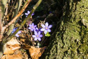 Leberblümchen am Rand des Tüttensees