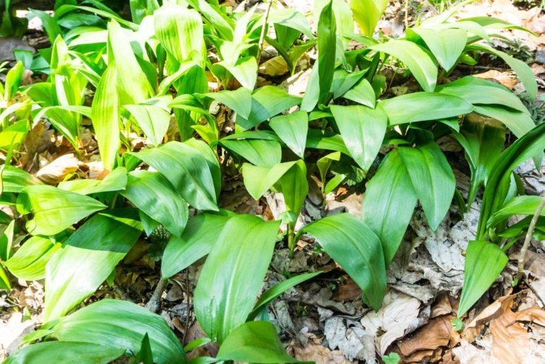 Der stark duftende Bärlauch. Ein paar dieser Blätter kommen in unser Pesto