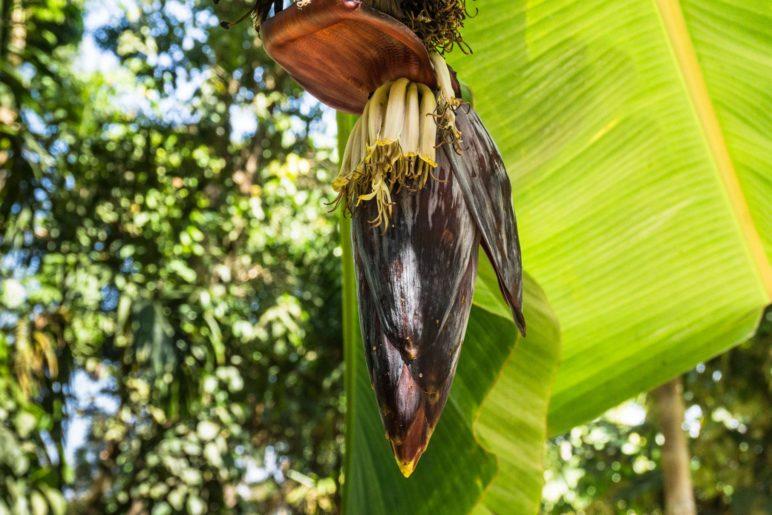 Auf der Kaffeeplantage. Dieses hier ist aber der Bütenstand einer Bananenstaude. Wer hätte es erkannt?