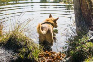 Auch Mikki traut sich in den seichten Uferstellen ins Wasser