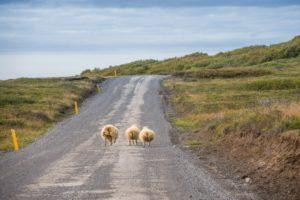 Schafe haben Vorfahrt. Auch wenn sie mittig über die 864 trotten