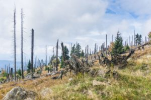 Zwischen den kahlen Stämmen liegen die Wurzelballen umgestürzter Bäume