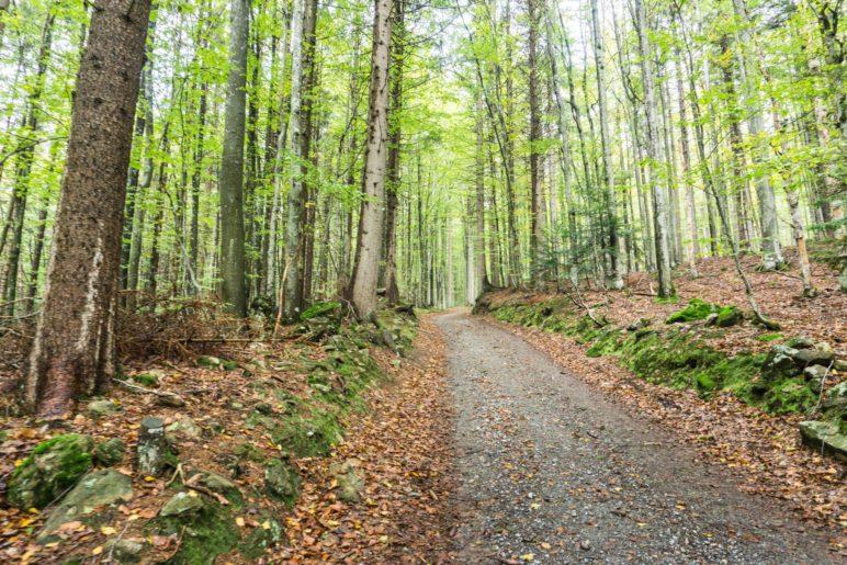 Ein breiter Wanderweg führt durch den Wald auf den Rachel
