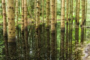 Bäume stehen im Wasser des Moorsees
