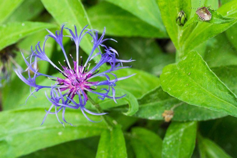 Eine Berg-Flockenblume und eine Wanze am Breitenberg