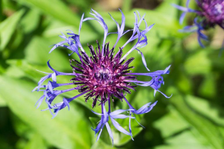 Eine Berg-Flockenblume (Cyanus montanus)
