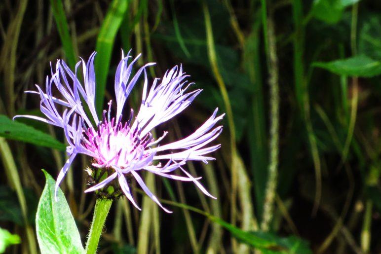 Eine Berg-Flockenblume am Hochgern