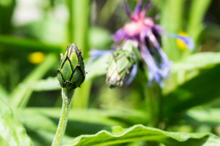Die wird noch: Die Knospe einer Bergflockenblume
