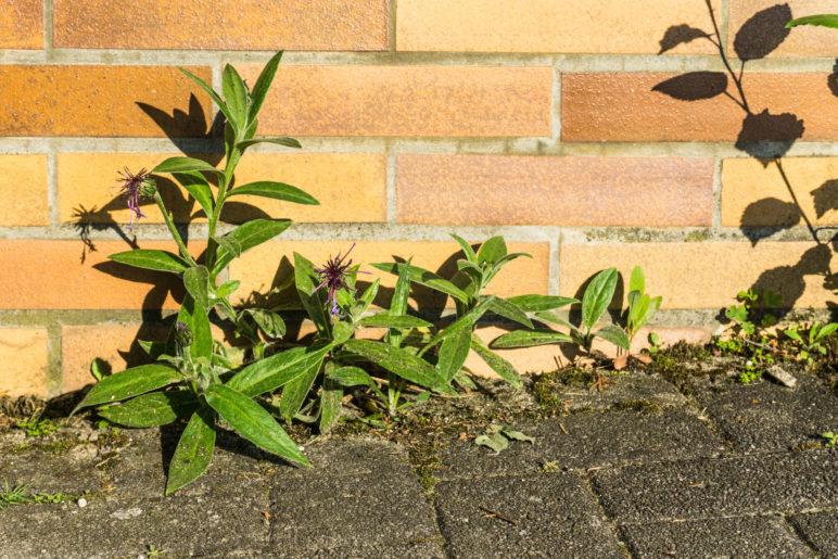 Überlebenskünstler: Bergflockenblumen, die direkt an der Mauer wachsen