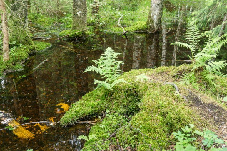 Der kleine Moorsee im Wald