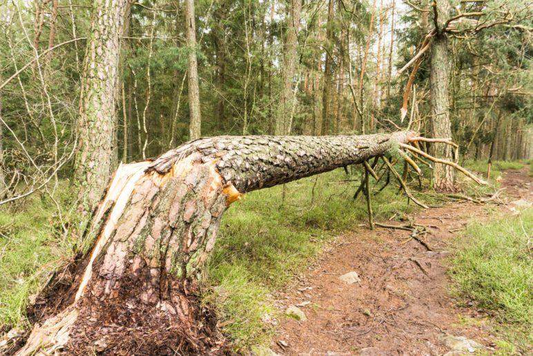 Dieser Baum ist Opfer eines Sturms geworden