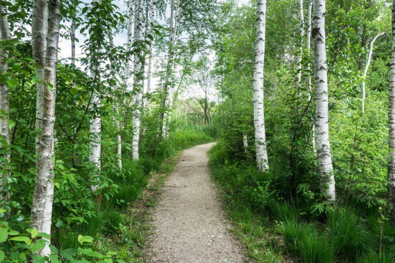 Zwischen den Birken hindurch führt der Weg in Richtung Bärnsee