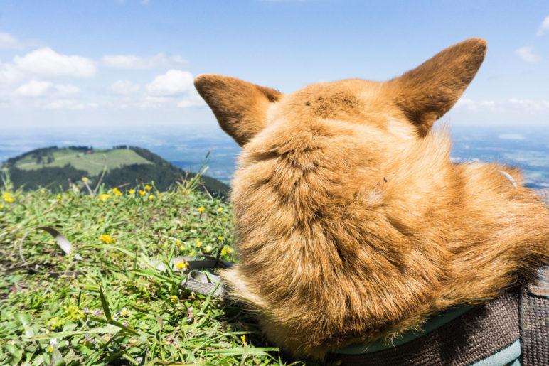 Ein Hundeleben: Ausruhen in den Wiesen auf der Rampoldplatte