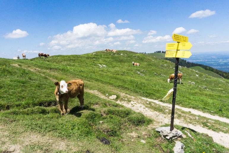 Rinder am Abzweig zum Gipfel. Wir wandern über Almwiesen