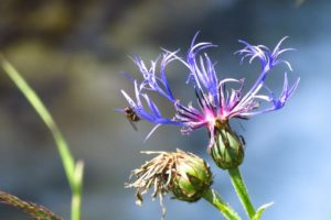 Eine Bergflockenblume am Wegrand