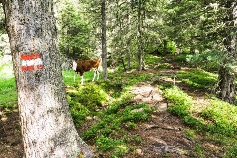 Rinder mitten im Wald? Das ist auf diesem Weg nicht ungewöhnlich