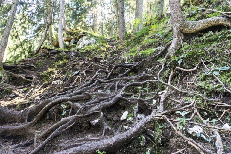 Der Aufstieg verläuft häufig über sehr wurzeliges Gelände