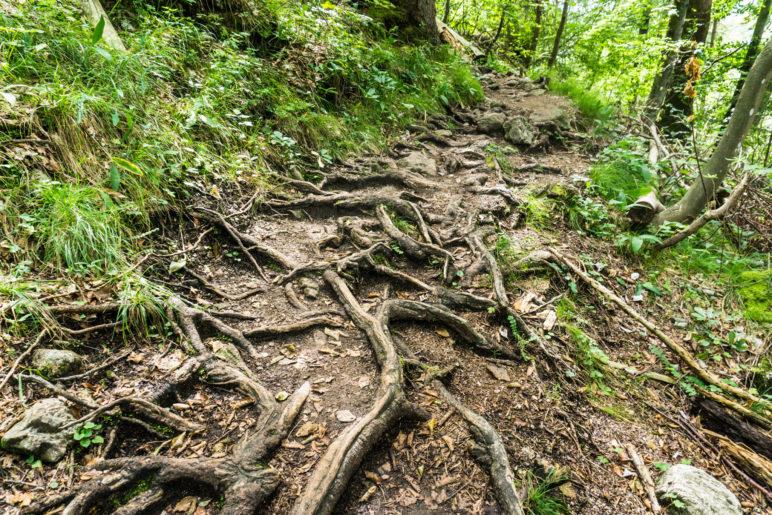 Über wurzelige Weg ewandern wir bergauf durch den Bergwald