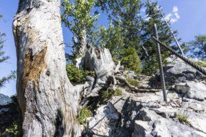 Über Felsen und an Baumstümpfen vorbei führt der versicherte Weg zurück