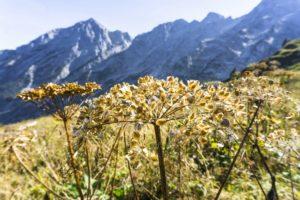 Trockene Gräser und Blumen auf dem Abstiegsweg. Im Hintergrund der Hohe Göll