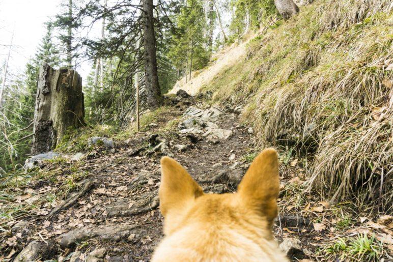 Im Wald wird der Weg zur Seebergalm steiniger