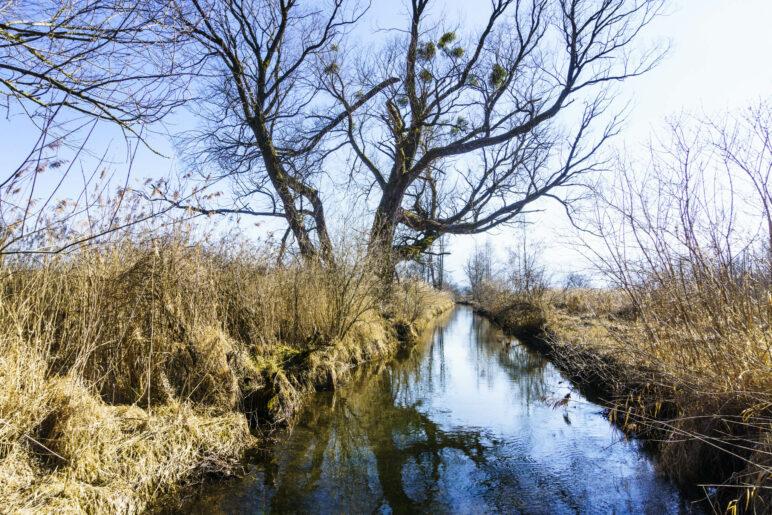 Ein Baum mit vielen Misteln an einem kleinen Bach
