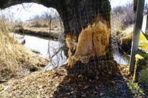 Biberschaden am Baum