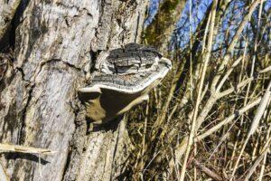 Ein Zunderschwamm an einem abgestorbenen Baum
