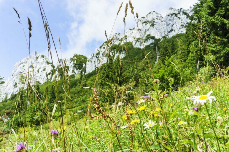 Blumenwiesen und der Felslamm der Kampenwand